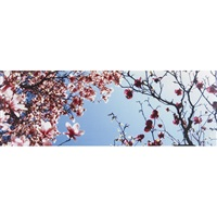 cherry blossoms by patrick meagher