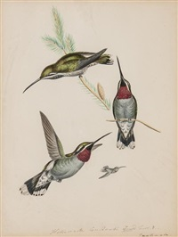 studies of hummingbirds (+ with a study of a paleheaded parrakeet and another of a crested parrakeet, both watercolor over pencil; 3 works) by heinrich gottlieb reichenbach