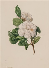 a group of 7 studies of camellias by edwin dalton smith
