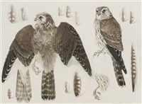 studies of a female merlin by mildred eldridge