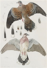 a turtle dove at bardsey (study) by mildred eldridge