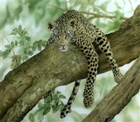 resting leopard by sally hynard