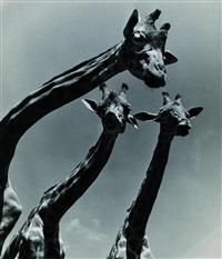giraffen am kilimandscharo by ylla