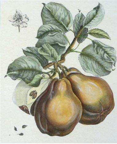 fruit studies 4 works by henri louis duhamel du monceau