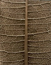 polygonaceae, blattadern. / 1950er by albert renger-patzsch