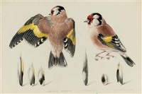 study of goldfinch by mildred eldridge