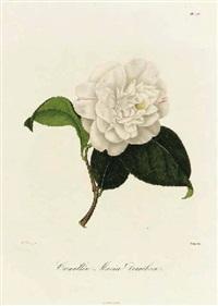 iconographie du genre camellia ou description et figures des camellia les plus beaux et les plus rares peints d'après nature by johann j. (jung) jünger
