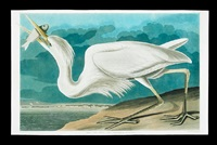 great white heron, no. 57, plate cclxxxi (from birds of america) by john james audubon