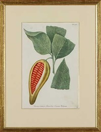 cacao by johann wilhelm weinmann