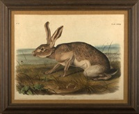 texian hare (pl. 133 from the viviparous quadrupeds of north america) by john woodhouse audubon