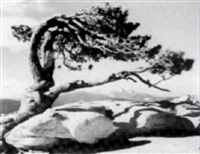 pinus jeffreyii, on top of sentinel dome by george fiske