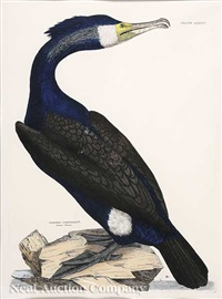 common cormorant (+ 4 others; 5 works) by prideaux john selby