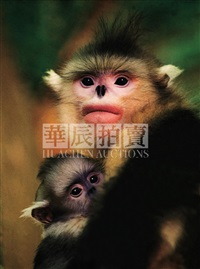 yunnan snub-nosed monkey by zi zhinong