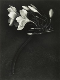 orchid. st. johns us virgin islands by albert watson