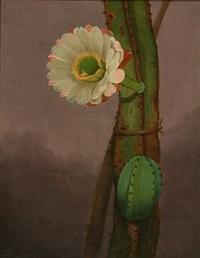 cactus hemgenia by johannes ludwig camradt