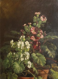 primula in pots by sparnell bailey