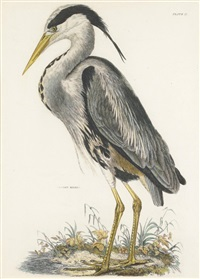 common heron by prideaux john selby