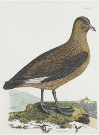 common skua by prideaux john selby
