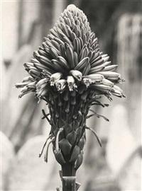 liliaceae aloe arborescens by albert renger-patzsch