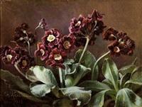 voksende lilla primula by flora heilmann
