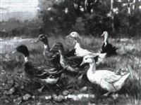 ducks by giovanni sanvitale