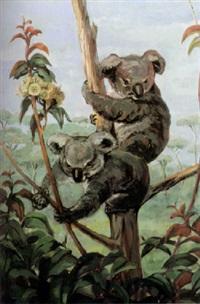 koalabären auf eukalyptusbaum by hilde boklin