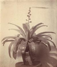 hohenbergia augusta by franz antoine
