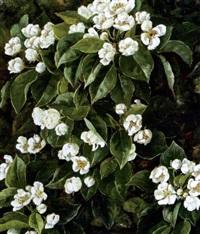 frugtgren med hvide blomster by signe andreasen