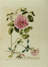 hundertblättrigte rose mit 3 auseinander gewachssenen blumen by johann michael seligmann