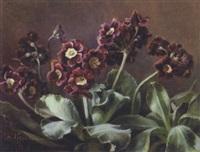 voksende lilla primula i en potte by flora heilmann