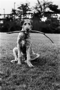 new jersey (irish wolfhound) by elliott erwitt