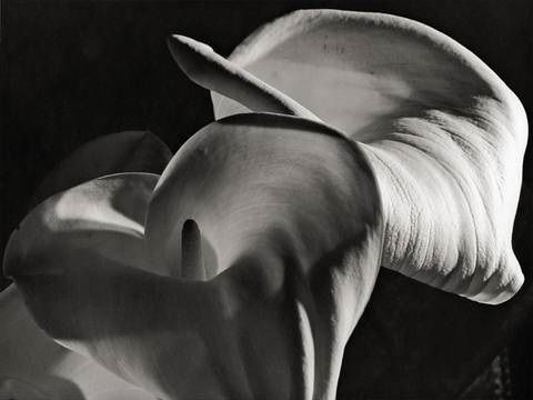 calla aethiopica by horst p horst