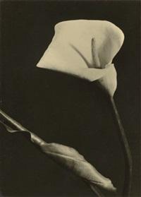 untitled (calla lily) by vera gabrielova