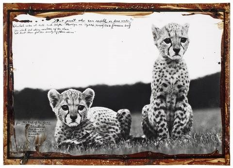 cheetah cubs at natl park hdqtr mweiga nr nyeri kenya by peter beard