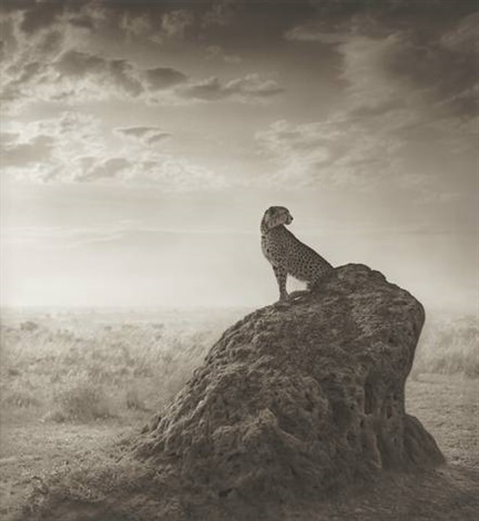 cheetah on termite mound from the series a shadow falls by nick brandt