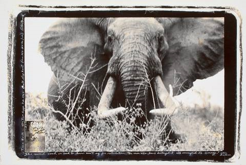 tsavo north athi tiva lugga bull elephant circa 150 160 lbsside by peter beard