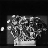 tulips by robert mapplethorpe