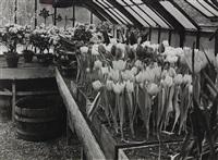 tulips by andré kertész