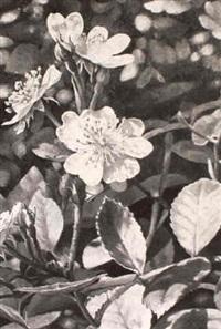 wild roses by robert sarsony