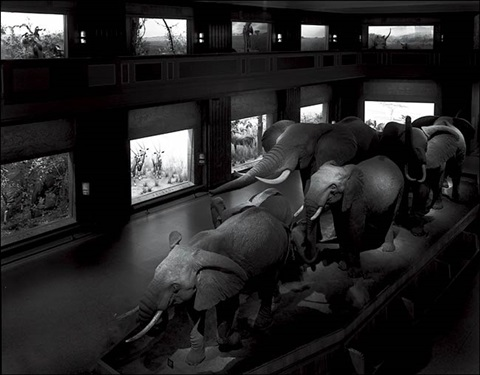 escaping elephants museum of natural history nyc by matthew pillsbury