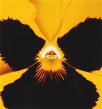 gelbe viola tricolor by klaus oberer