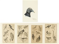 ornithological study (+ 4 others; 5 works, 4 in 1 frame) by terence michael shortt