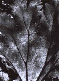 leaf study - arboratium by pirkle jones