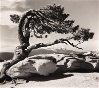 jeffrey pine, sentinal dome, yosemite national park by ansel adams