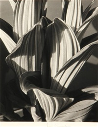 false hellebore by imogen cunningham