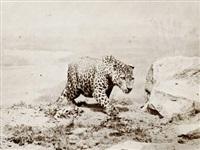 leopard (2 works) by ottomar anschutz