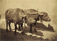 bulls by enrico béguin