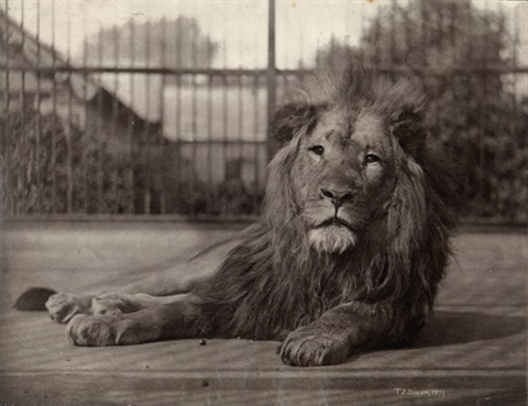 lion by thomas james dixon
