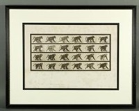 baboon walking, plate #748 (from animal locomotion series) by eadweard muybridge