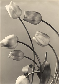 tulips by max baur